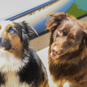 Australian Shepherds on Dock at Morningstar Marinas